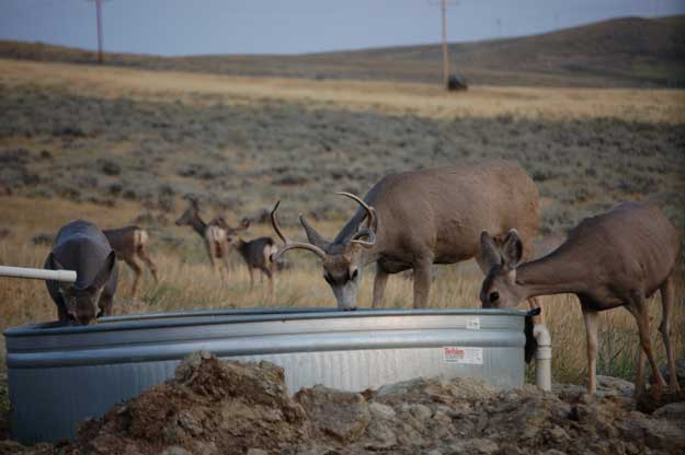 mule deer at watering trough
