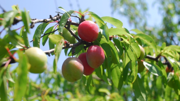 Most Por Nut And Fruit Trees At