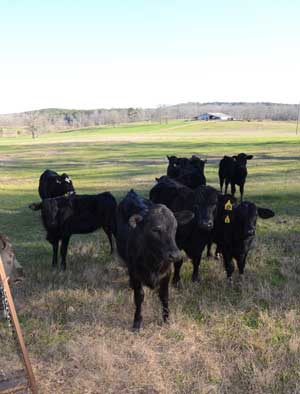 cattle on farm used for hunting land