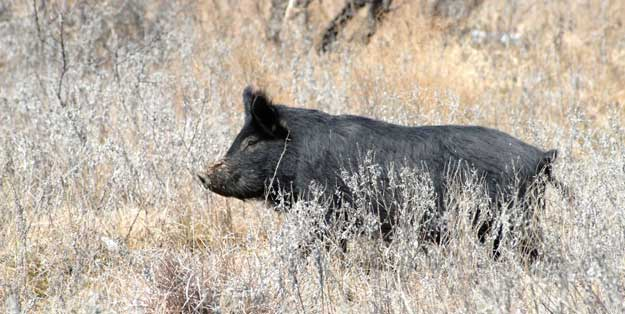 wild hog in field