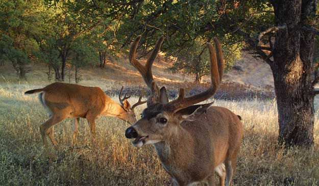 california-blacktail-cremeans