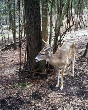 deer-on-trail-camera-florida