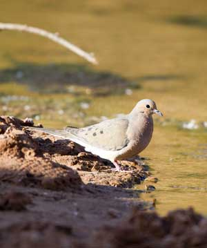 dove by water