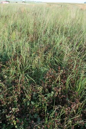 native grasses create cover for raising upland birds