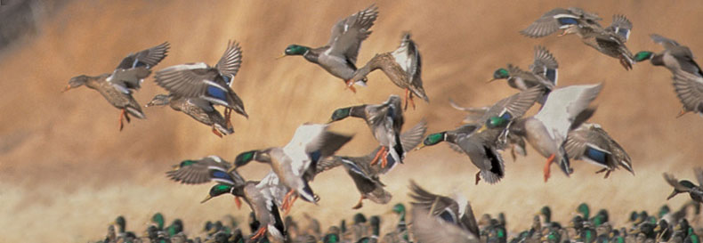 Delta Waterfowl Wallpaper Waterfowl populations have